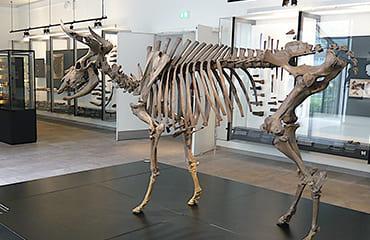 Реальний скелет тура, дикого бика